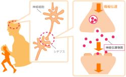 [画像]神経細胞